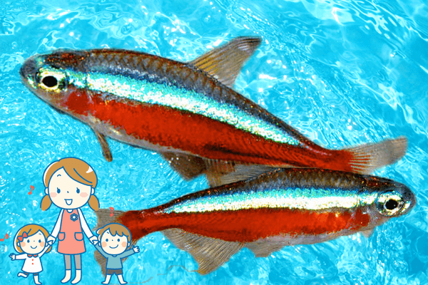 swimming-cardinaltetra1